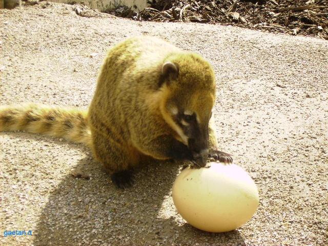 Coati Mange