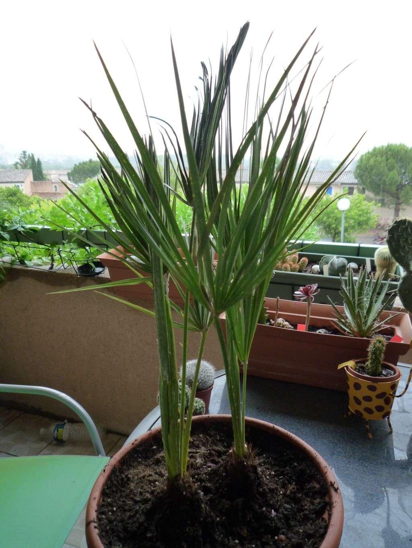 palmier ramen de tunisie chamareops humilis forums On plantes et jardins tunisie