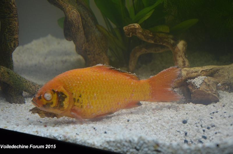 taille aquarium poisson rouge
