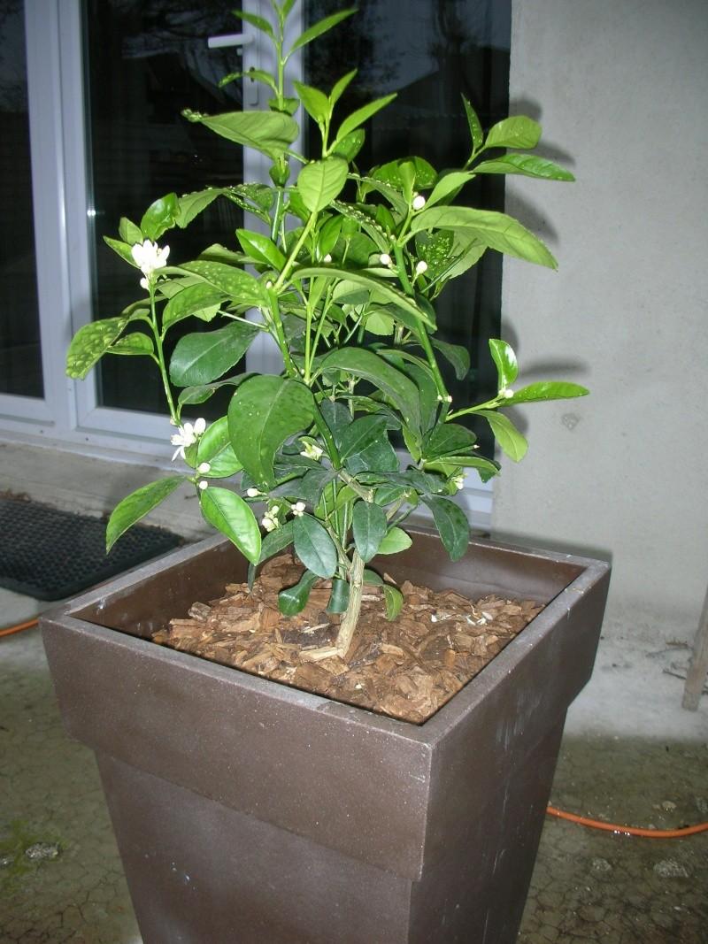 Le potager 2011 d 39 obsoolete page 2 au jardin forum de jardinage - Pot pour citronnier jardiland ...