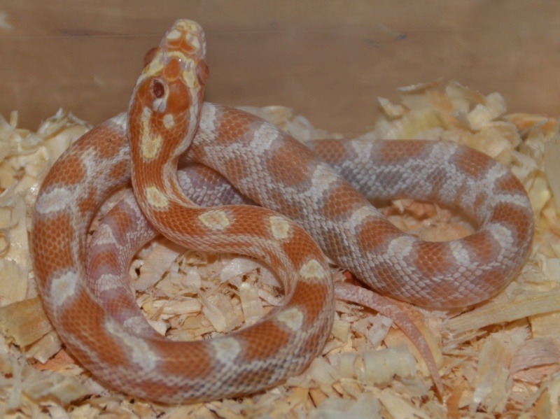 Albinos het sunkissed scaleless