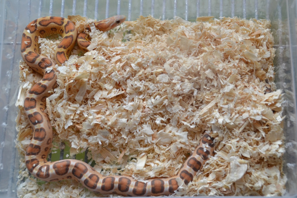 Ultramel scaleless het caramel
