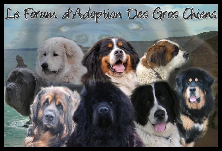 Adoption des gros chiens