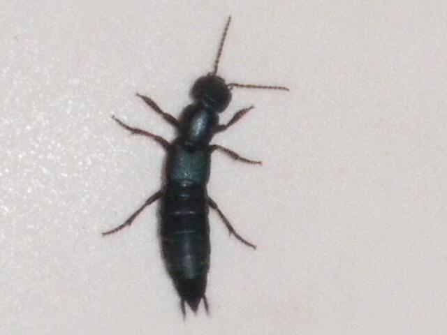 Ocypus sp svp quel est cet insecte - Petit moucheron qui pique ...