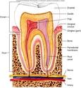 منتدى دكتور خالد أبو الفضل لفسيولوجيا طب الأسنان Dentist Physiology