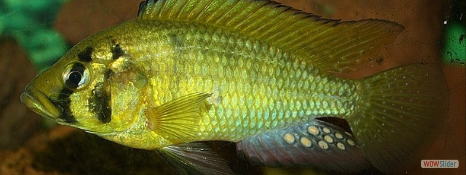 Astatotilapia calliptera 'Thumbi East Island'