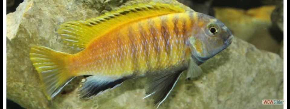 Tropheops red fin Usisya