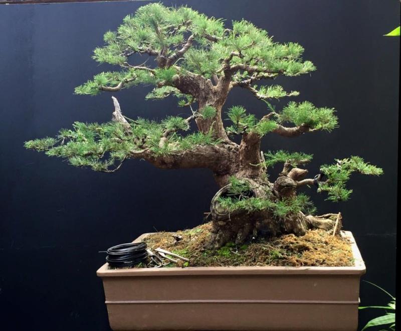 Casuarina equisetifolia bonsai redesigned