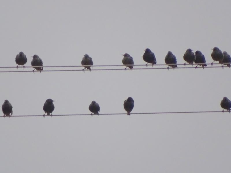oiseaux en bande sur une ligne lectrique etourneaux sansonnet. Black Bedroom Furniture Sets. Home Design Ideas