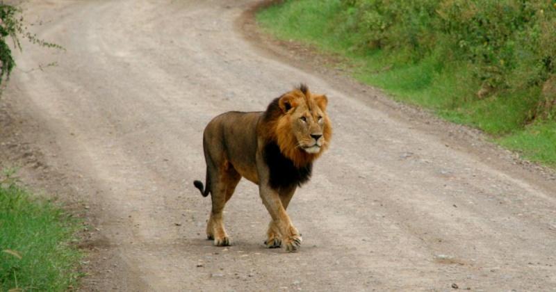 lion-s10.jpg