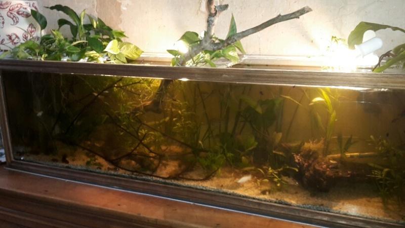 poissons télescope et oranda cohabitation
