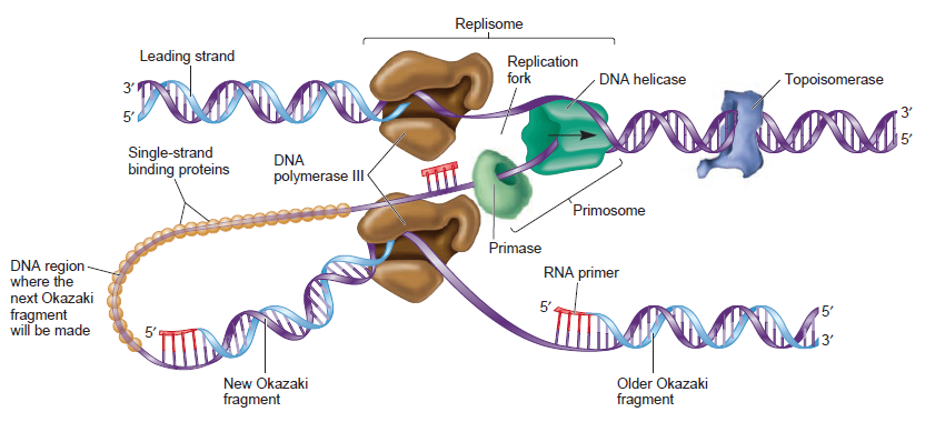 DNA replication of prokaryotes - Page 2