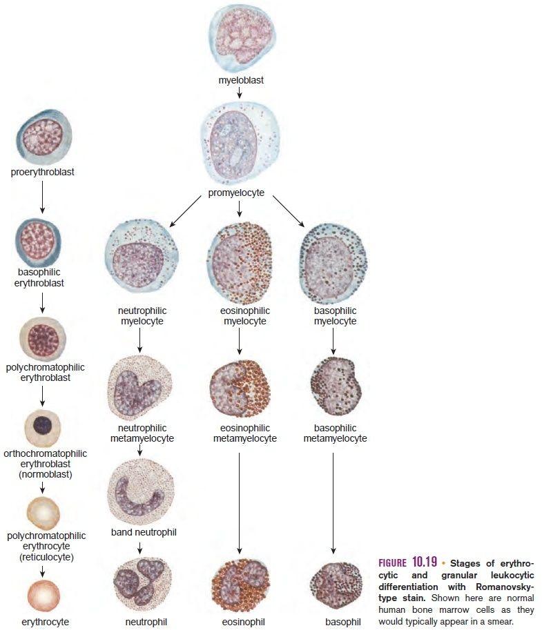 Polychromatophilic erythroblast
