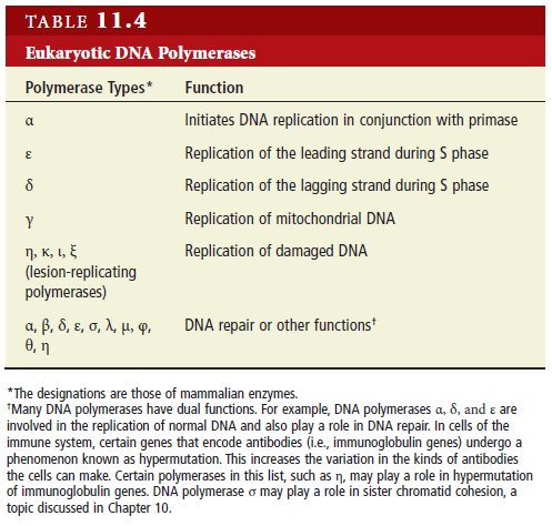 the importance of the dna polymerase epsilon in research The main function of dna polymerase is to make dna from nucleotides, the building blocks of dna there are several forms of dna polymerase that play a role in dna replication and they usually work in pairs to copy one molecule of double-stranded dna into two new double stranded dna molecules this.