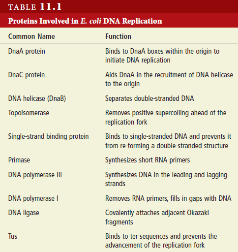 Dna replication of prokaryotes page 2 to act as a template for dna replication the strands of a double helix must separate the function of dna helicase is to break the hydrogen bonds pronofoot35fo Images