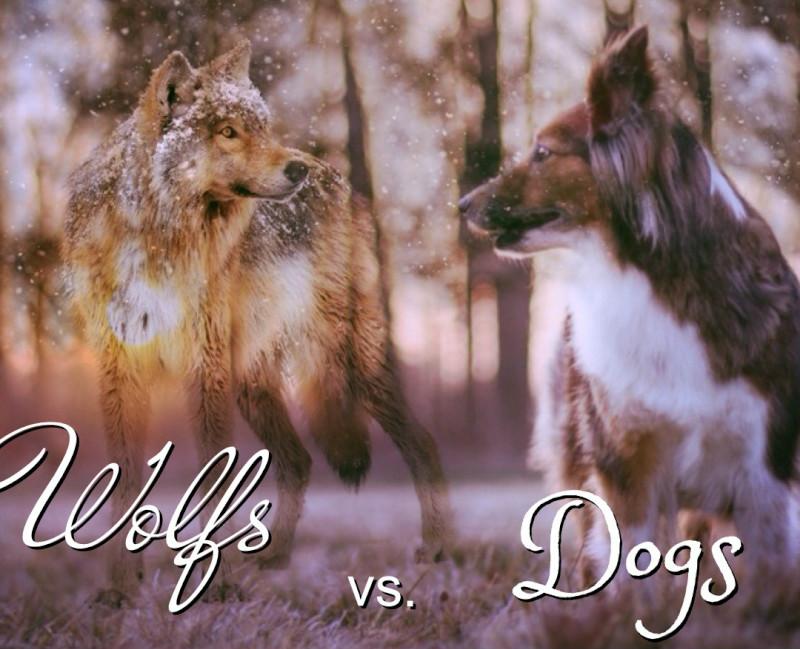 Wolfs vs. Dogs