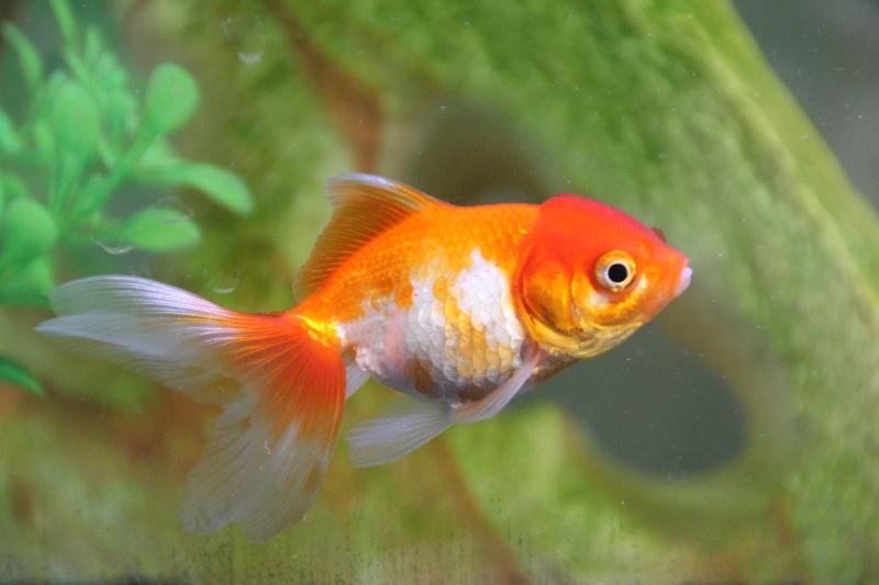 Je recherche une nouvelle famille pour mon poisson for Nourriture poisson rouge super u