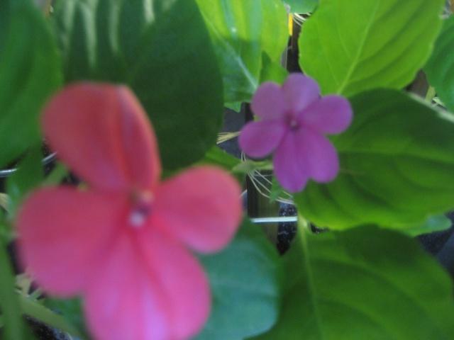 Couleurs fleurs impatiens goutte de sang hybrides - Plante goutte de sang porte malheur ...