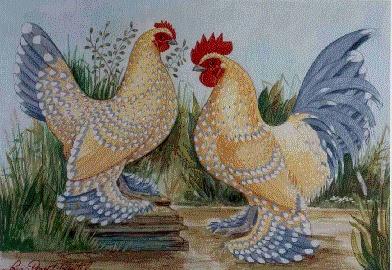 La poule sabelpoot for Race poule d ornement