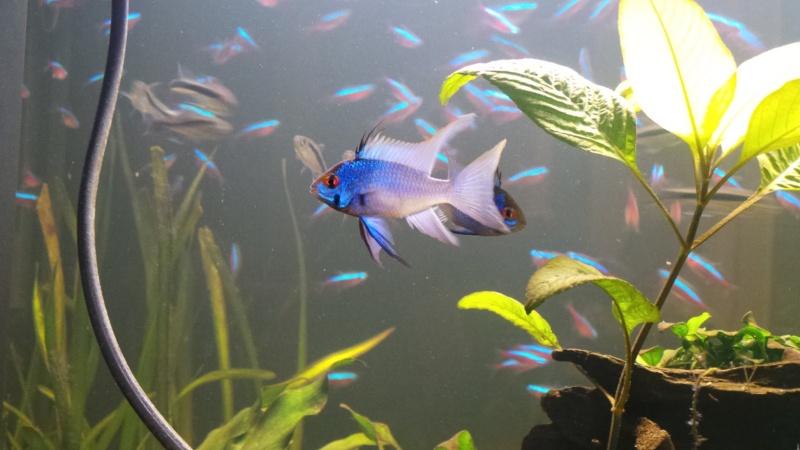Mâle Papiliochromis ramirezi Bleu