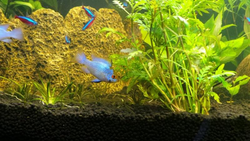 femelle Papiliochromis ramirezi Bleu