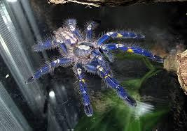 Guilde Arachnide GF