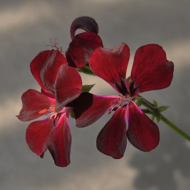 pelargonium pelargonien alle nichtsukkulenten arten und sorten aussaat stecklinge seite 19. Black Bedroom Furniture Sets. Home Design Ideas