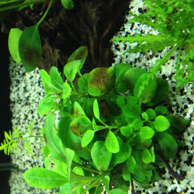 Algues brunes et algues filamenteuses for Algues vertes dans piscine