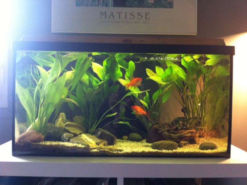 Poisson rouge tache brunes for Aquarium poisson rouge taille