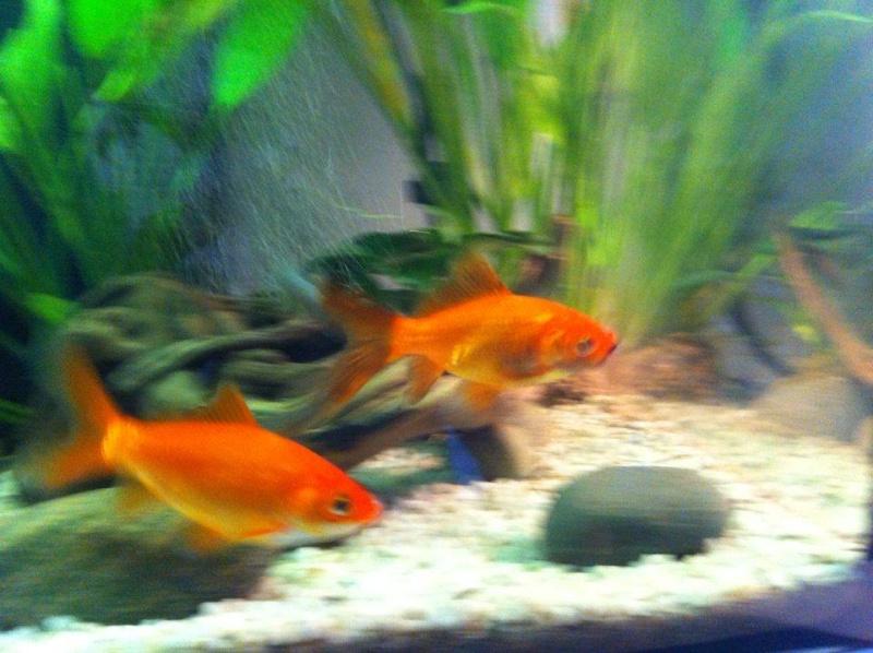 Poisson rouge tache brunes for Bac a poisson rouge