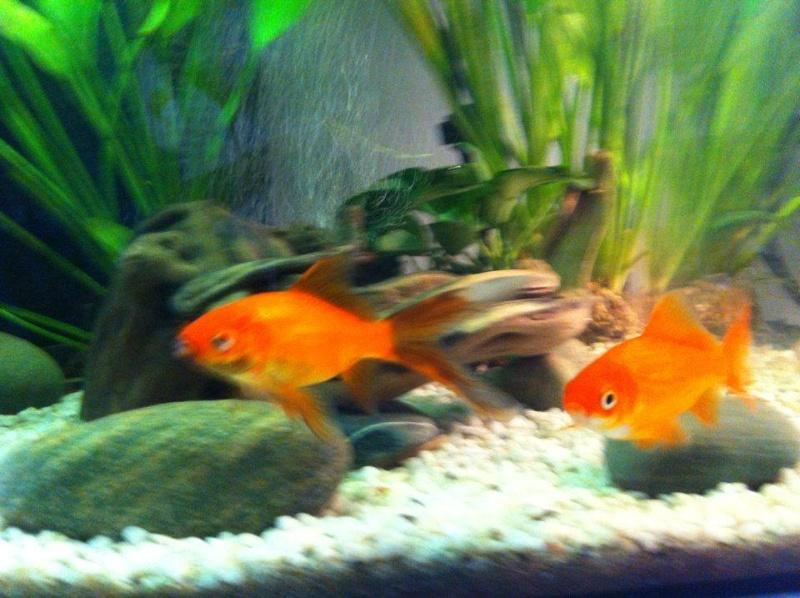 Poisson rouge tache brunes for Achat poisson rouge 92